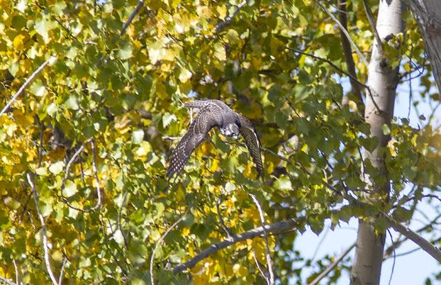 Peregrine Falcon in Niagara