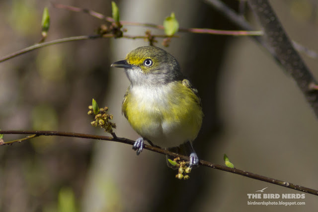 White-eyed Vireo during spring migration