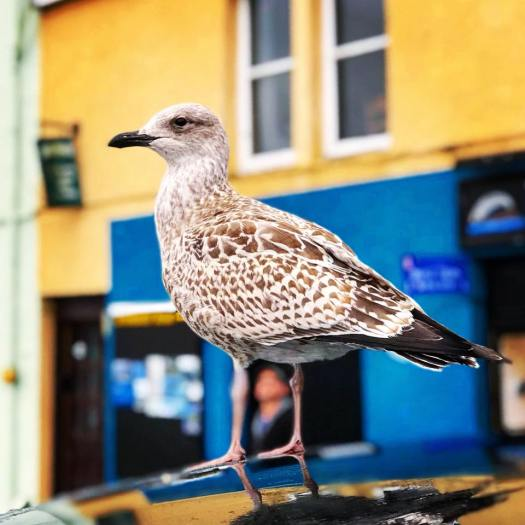 Photo of a gull standing in front of a blue and yellow building