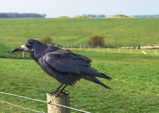 Photo of a raven perched on a fence post