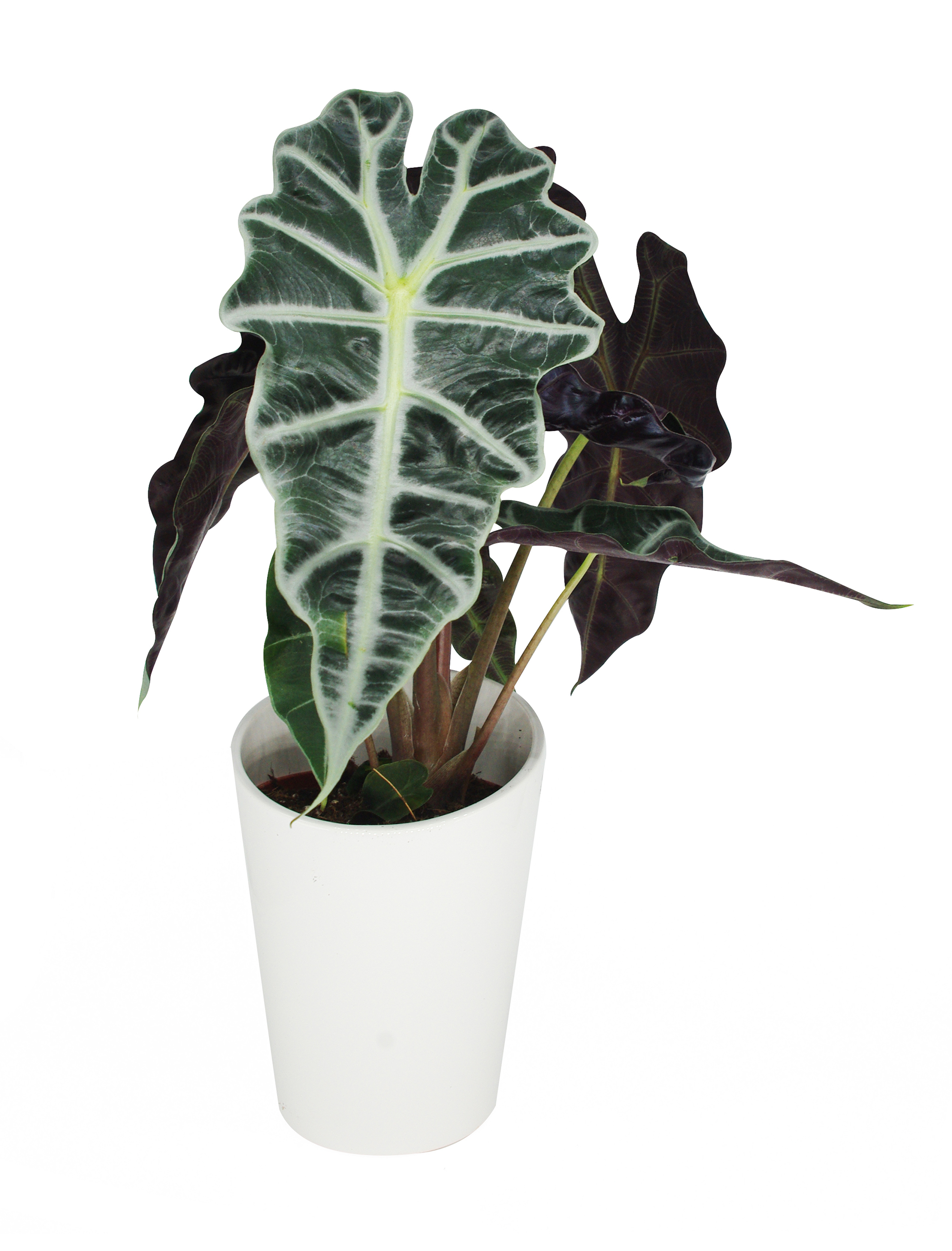 les plantes lidl faites vous plaisir the black leaf blog v g tal. Black Bedroom Furniture Sets. Home Design Ideas