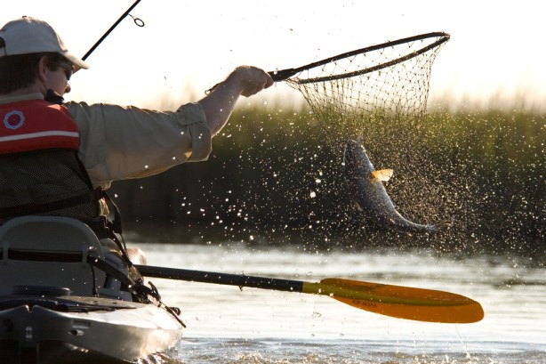 A man fishing from a kayak nets a Red Drum (Redfish, Sciaenops ocellatus) in Bayou Thunder Von Tranc, near Grand Isle, Louisiana