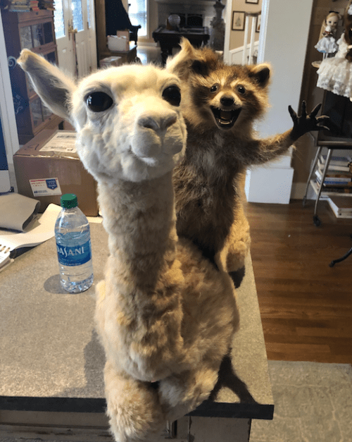 taxidermied adolescent alpaca with a road kill raccoon on it's back