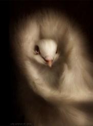 Jacobean pigeon, bird of the European aristocracy © Cally Whitham