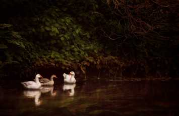 Waterfowl © Cally Whitham