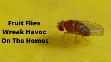 Photo of Fruit Flies Wreak Havoc On The Homes