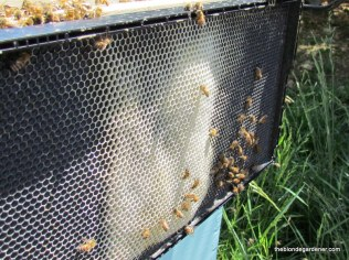 Bees making wax for their honeycomb