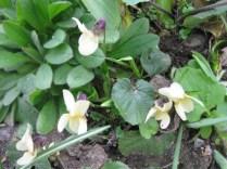 Viola odorata sulphurea