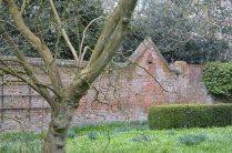 Walled garden. Ginkgo biloba
