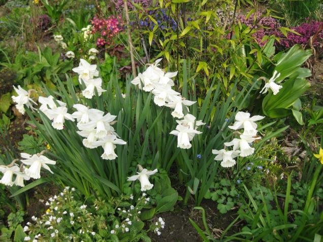 Pulmonaria 'Sissinghurst White' with Narcissus 'Mount Hood'