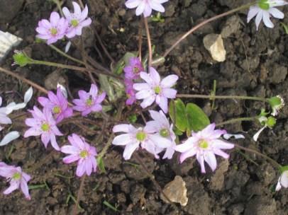 Hepatica 'Forest Pink'