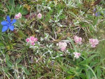Antennaria dioica Cat's -Foot