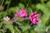 Salvia involucruta 'Boutin'