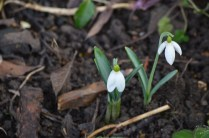 Galanthus 'Fusby'