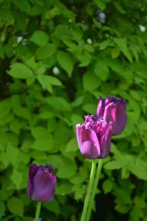 Tulip 'Curly Sue'