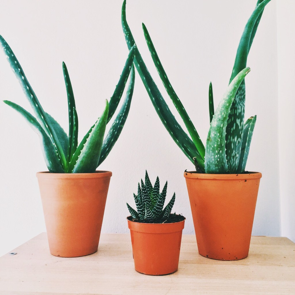 One small potted aloe in between 2 big potted aloe