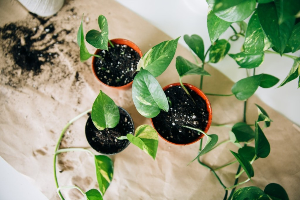 Repotted pothos cuttings from above