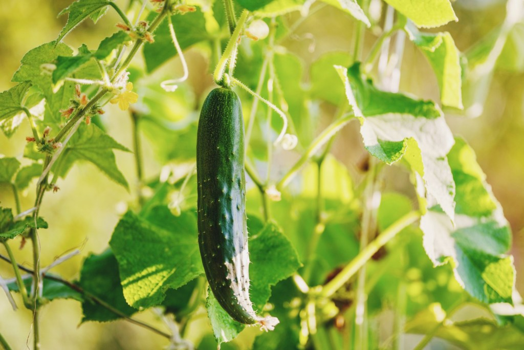 growing cucumber plant with blurred environmental background on a sunny day