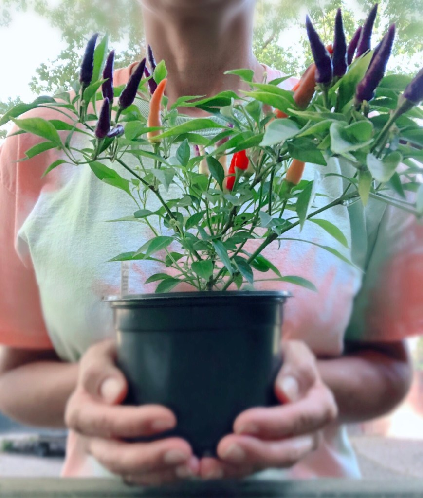 young woman hold ornamental pepper plant