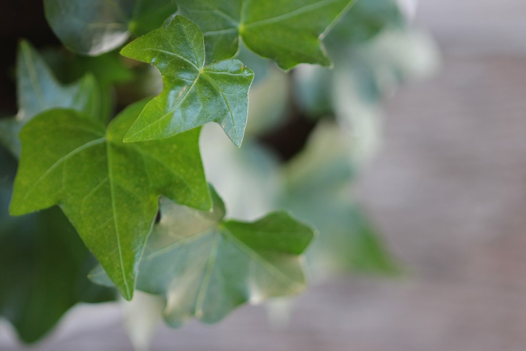 close up of english ivy leaf on the top left corner