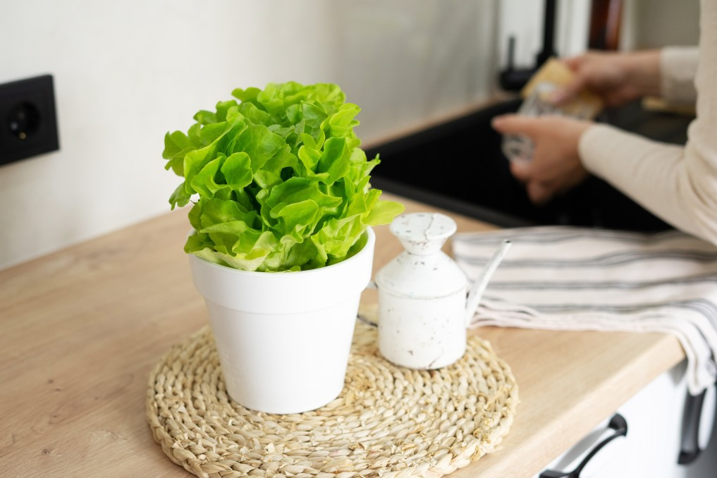 A woman washes a mug over the sink in the kitchen potted green lettuce in the foreground home garden