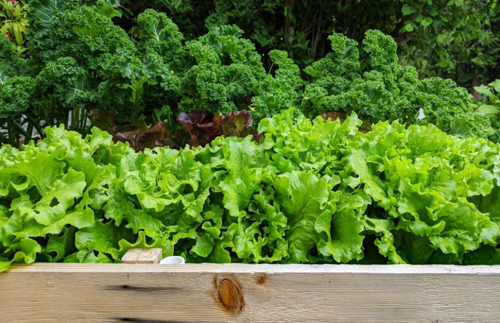 different types of lettuce growing in a raised garden bed