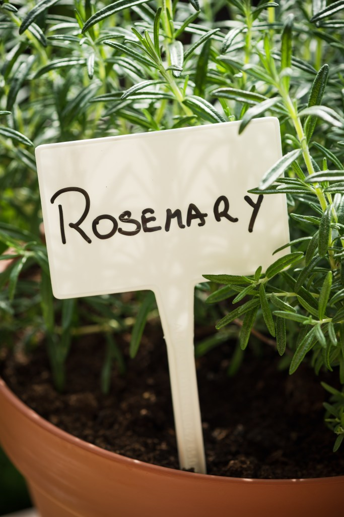 Pot with Fresh Rosemary Herb Growing and Empty Label. Home Gardening on Balcony, Eco Produce in Ubran Balcony.