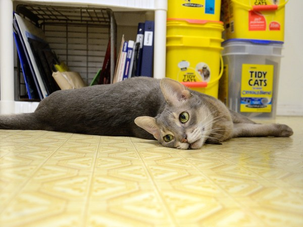 Getzger Cat, a blue Abyssinian, lying on the floor of the studio of The Blue Bottle Tree.