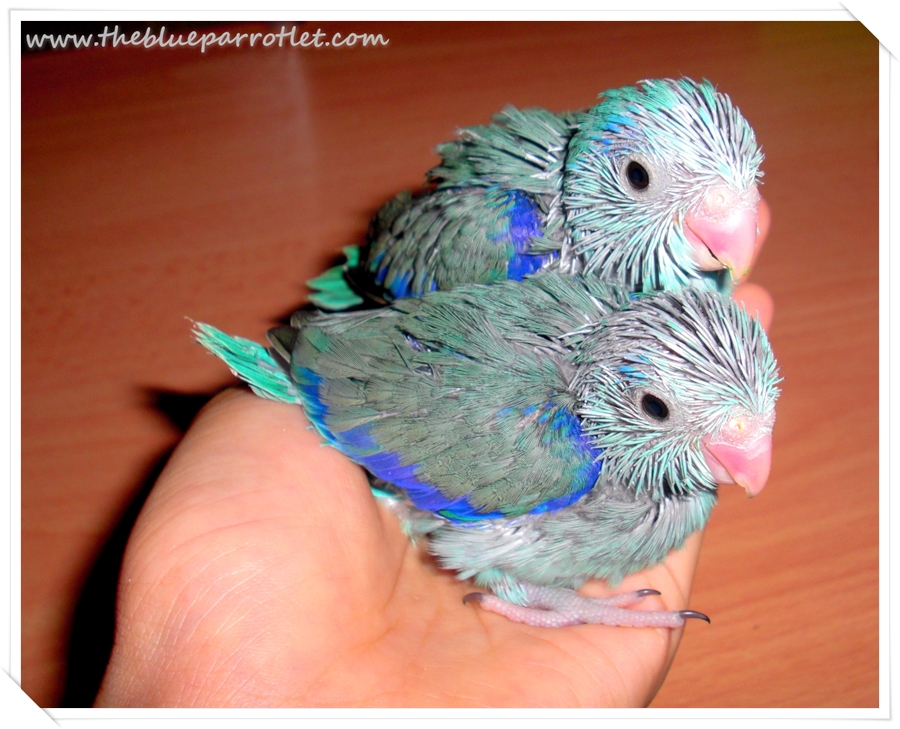 care for baby parrotlets