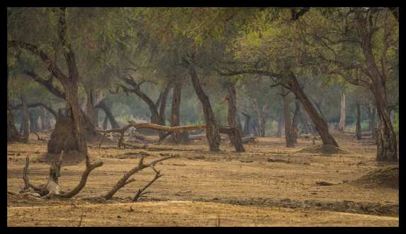 Looking deep into Mana Pools acacia forest