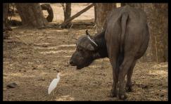 Egret and buffalo conversation