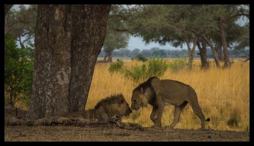 Lion brothers, Mana Pools Nationalpark