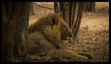 Lion King of Mana Pools