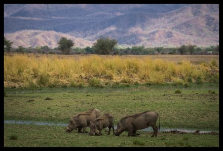 Warthogs crawling for food at BBC campsite, Mana Pools
