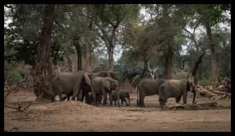 Mana Pools Elephant family passes by