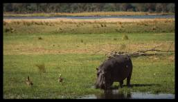 Hippo at Mana Mouth