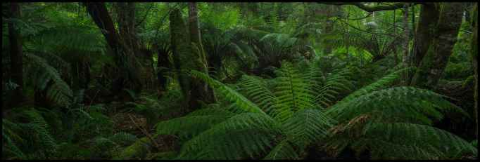Tree Fern Styx River Valley Rainforest Panorama