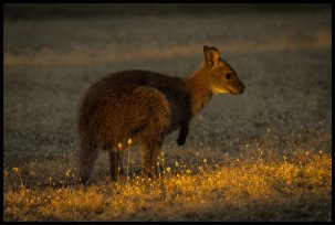 Pademelon Wallaby, Narawntapu National Park