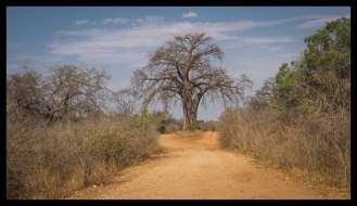 Big Boab Tree obstacle at Mana Pools National Park main access road