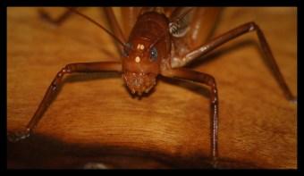 Scary cricket