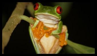 Red eyed Treefrog at Tucan Lodge