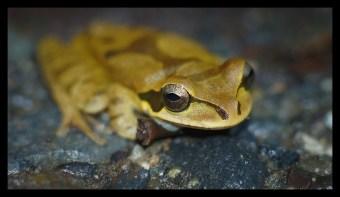 Golden Frog at Playa Cocles