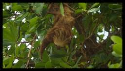 Sloth, Cahuita National Park