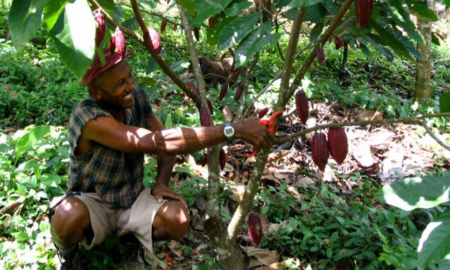 cacao Colombia, cocoa Colombia