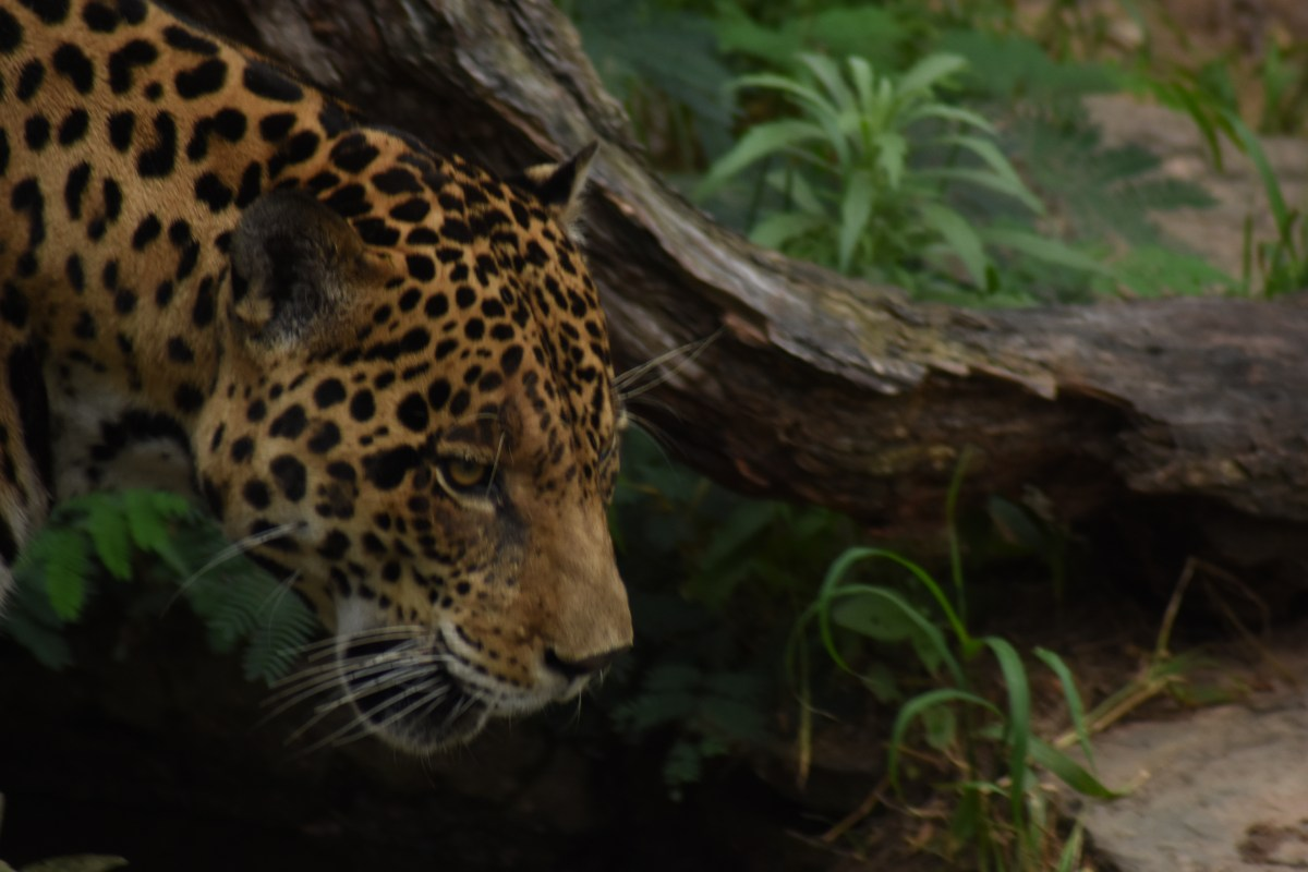 "A symbol of ""transformation and force"": Challenges facing the jaguar in Colombia"