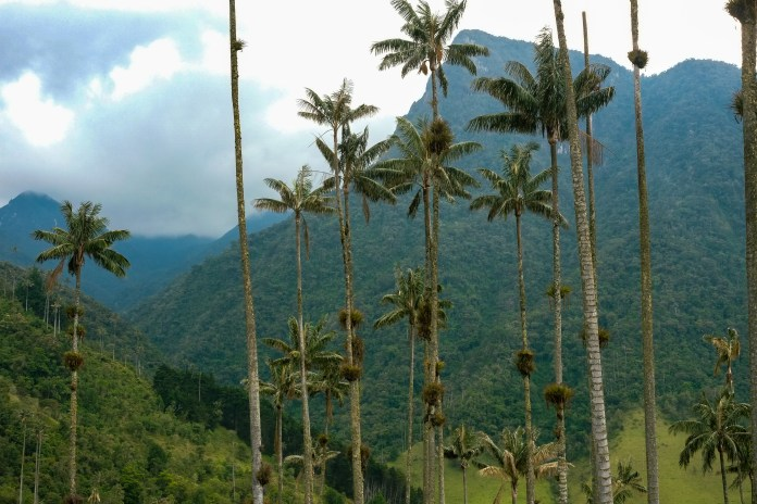 The wax palms of the Valle de Cocora, close to potential mining sites.