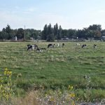 Cows on the drive to Mann Creek Cafe in Weiser