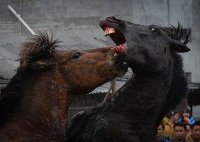 China_two_stallions_fight