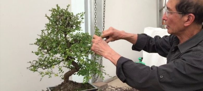 How to Prune a Chinese Elm Bonsai Tree