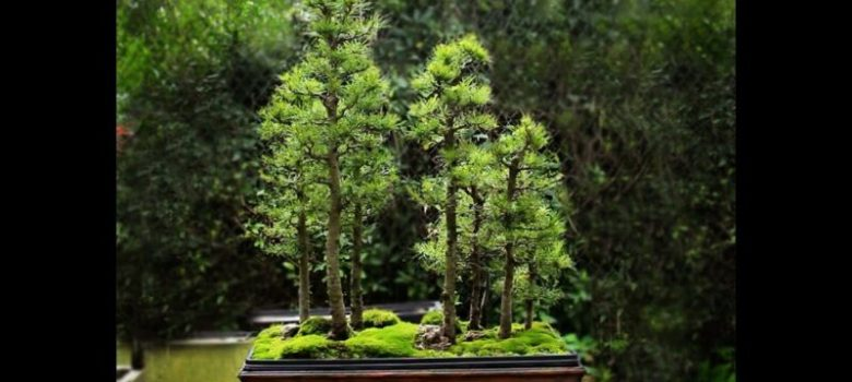 Larch Bonsai Forest